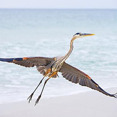 Blue Heron - Gulf Coast region of Alabama