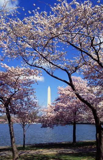 Tidal Basin Cherry Trees - Washington Monument in distance