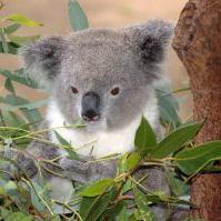 Australian koala with leaves