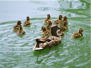Momma duck and ducklings
