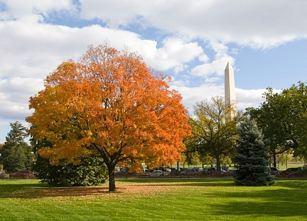 Washington DC Maple Trees