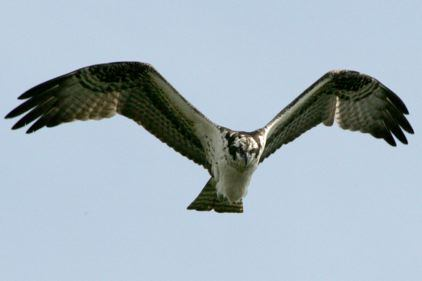 Osprey - Everglades National Park