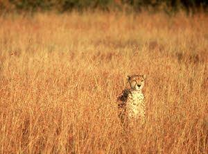 Maasai Mara Leopard
